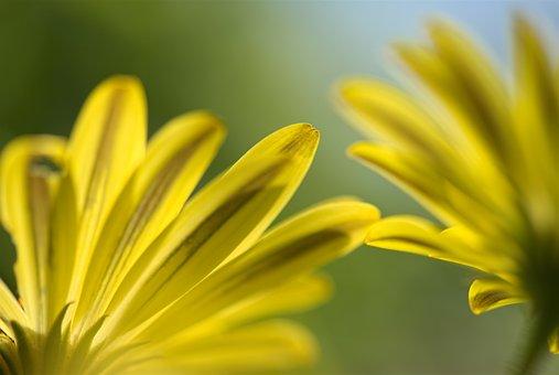 Spanish Daisy, Flower, Floral, Yellow, Green, Garden