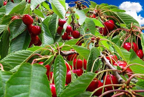 Cherries, Cherry Harvest, Cherry Tree, Fruit, Red, Bing