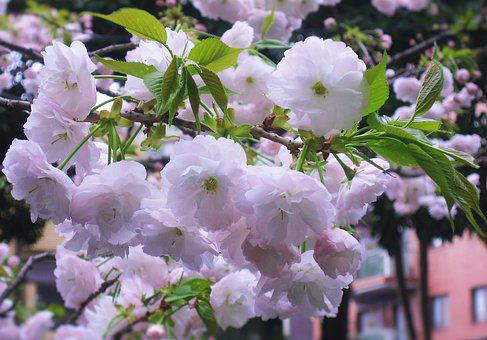 Double Cherry Blossoms, Flowers, Pale Pink Leaf, Green