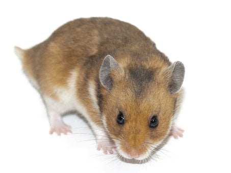 Hamster, Rodent, Animal, Pet, Rodents, Mammal, Cute