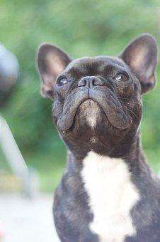 Dog, Bulldog, French Bulldog, Snout, Hundeportrait
