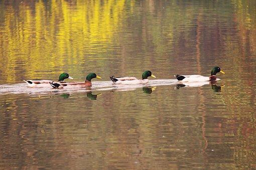 Mandarin Duck, Beautiful, Koi, Lake, Pond, Fish, Park