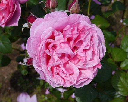 Verny Park, Rose, Large Flower, Pink, Pale, Large, Bud