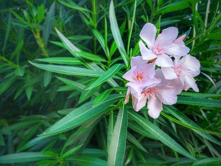 Oleander, Flower, Green, Pink, Leaf, Leaves, Blossom