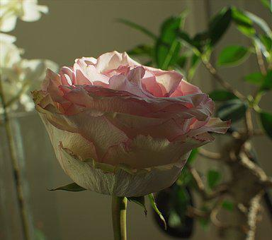 Pale Pink, Flowers, Pink, Petals, Leaves, Love, Open