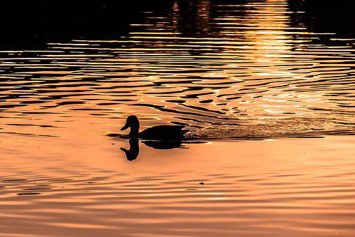 Water, Wave, In Evening Light, Duck, Mirroring