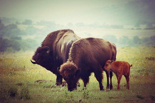 Buffalo, Calf, Wildlife, Nature, Bison, Baby, Grass