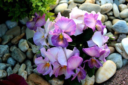 Nature, Spring, Spring Flowers, Pansy, Flowers, Purple