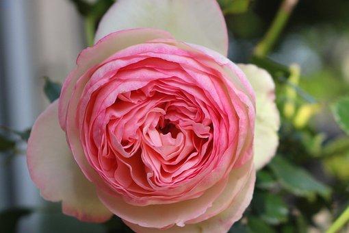 Pink, Flower, Pale Pink, Climbing Rose