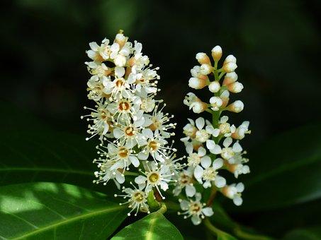 Prunus Laurocerasus, Blossom, Bloom, White, Bud, Bush