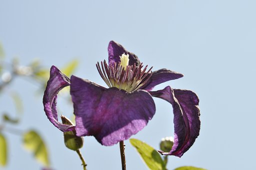 Clematis, Purple, Blossom, Bloom, Purple Flower