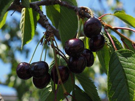 Cherries, Fruits, Fruit, Red, Ripe, Purple, Black