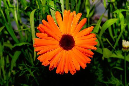 Color Orange, Flowers, Chrysanthemum, Green, Rain