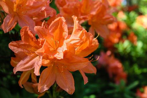 Rhododendron, Flower, Nature, Blossom