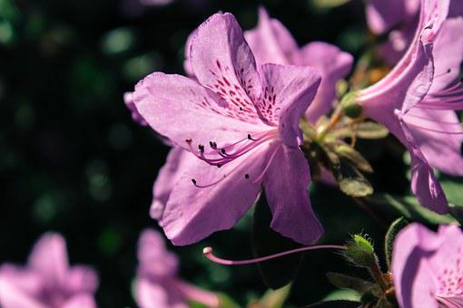 Rhododendron, Flower, Nature, Blossom, Violet