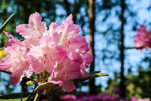 Rhododendron, Flower, Sunny, Blossom, Pink, Nature