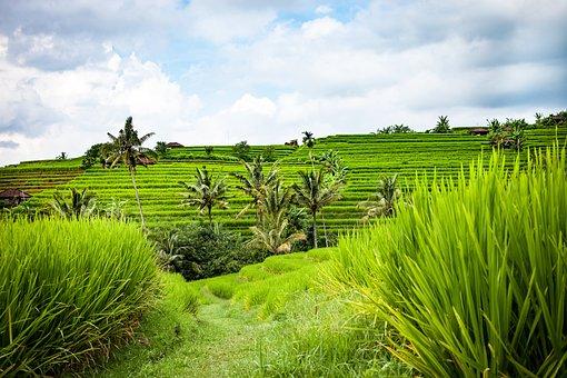 Bali, Rice Terraces, Landscape, Rice, Rice Fields