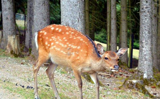 Roe Deer, Wild, Fallow Deer, Female, Ricke, Forest