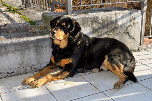 Dog, Rottweiler, Breed, Laying, Pet, Love, Amici