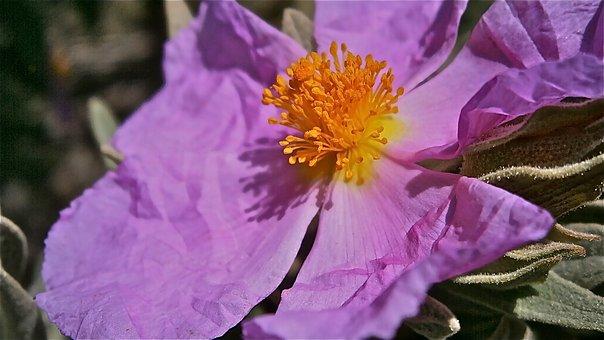 Flowers, Jara, Steppe, Vegetable, Shrub, Spring