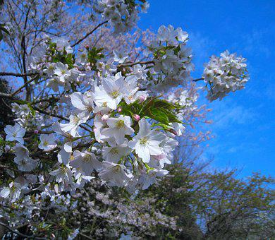 Cherry Blossoms, Tree, Pale Pink, Wild Cherry, Spring