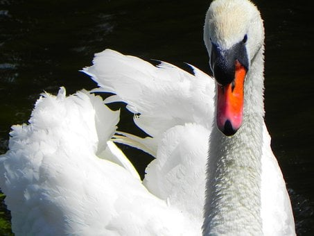 Swan, Bird, Feathers, Flying, Wildlife, Beak, Waterfowl