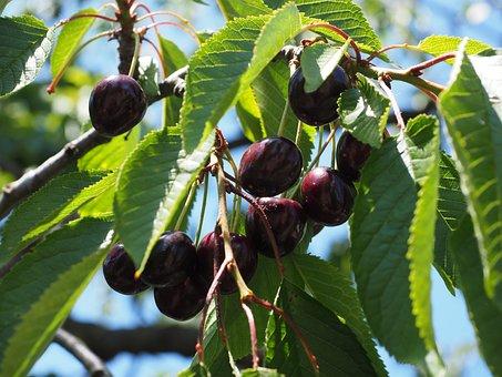 Cherries, Fruits, Fruit, Red, Ripe, Sweet Cherry