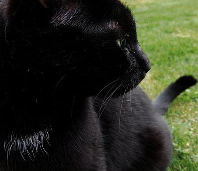 Cat, Black Cat, Focused, Whiskers, Sweet, Mieze