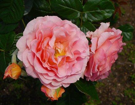 Verny Park, Rose, Large Flower, Orange, Salmon Pink