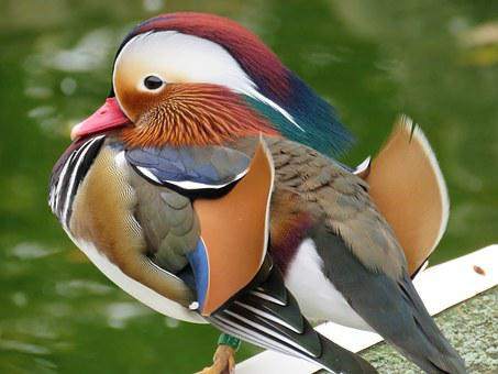 Mandarin Duck, Water, Lake, Nature, Colorful Feathers