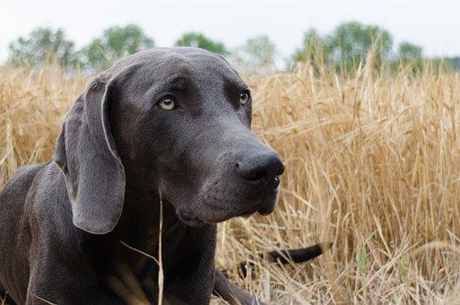 Dog, Weimaraner, Head, Animal, Snout, Pet