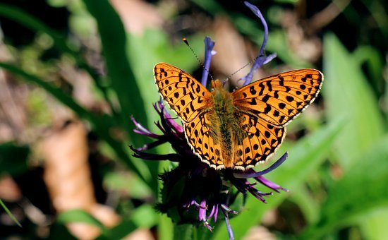 Wetlands - Mother Of Pearl Butterfly, Boloria Selene
