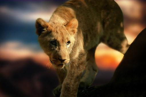 Lion Cub, Lion, Africa, Animal, Wild Animal, Mammal