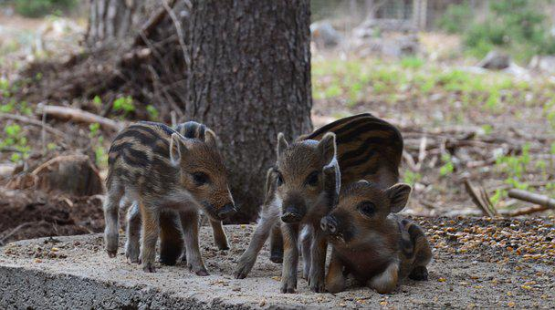 Hog Wild, Wild Boar, Mother, Striped, The Bristles