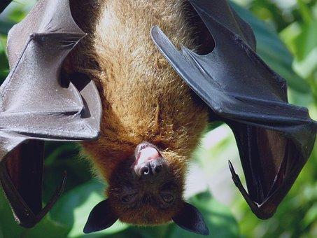 Flying Dog, Wing, Tongue, Zoo, Tiergarten, Nature