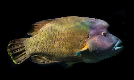 Napoleon Fish, Wrasse, Fish, Sea, Tropical, Blue