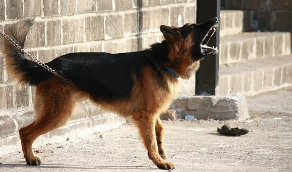 German Shepherd, Dog, Barking, Guard, Alert, Warning