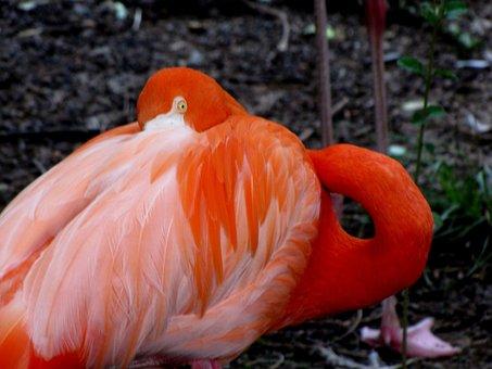 Flamingo, Bird, Animal, Pink, Wildlife, Exotic