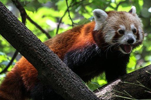 Panda, Ailurus Fulgens, Red Panda, Bear Cat, Fire Fox