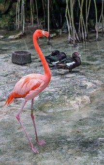 Flamingo, Bird, Pink, Nature, Wildlife, Caribbean