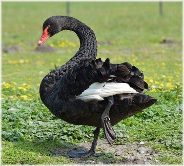 Black, Ballet, Dance, Water, Bird, Nature, Holland