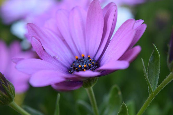 Cape Basket, Bloom, Flower, Violet, Marguerite, Blossom