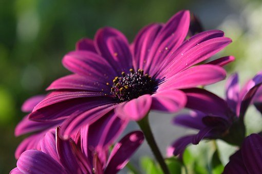 Cape Basket, Pink, Blossom, Bloom, Close Up, Beautiful