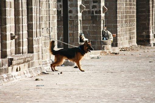 German Shepherd, Dog, Guard, Alert, Chained, Standing
