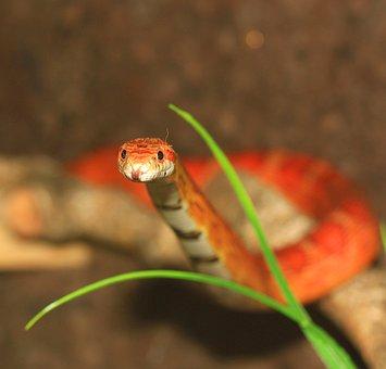 Corn Snake, Tongue, Snake, Pantherophis Guttatus