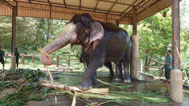 Elephant, Bamboo, Working Elephant, Slave