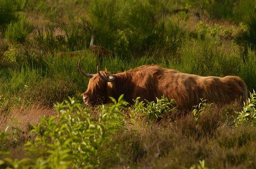 Cow, Beef, Scottish, Highlander, Heide, Browser, Mammal