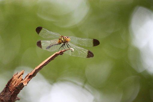 Dragonfly, Bug, Wings, Body, Legs, Head, Eyes, Hair