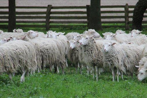 Sheep, Heide, Moorschnucke, Wildeshausen