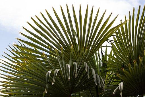 Fan Palm, Palm, Hand Shaped, Split, Leaves, Fan Shaped